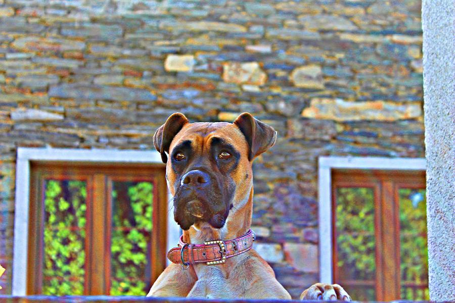 Buldog Photograph - Dog Buldog by Jenny Senra Pampin