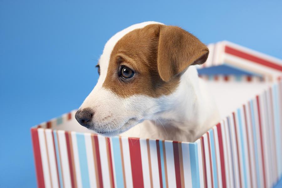 Dog In Gift Box Photograph by BananaStock