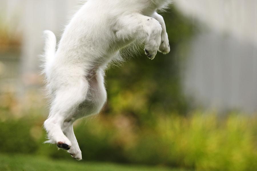 Animals Photograph - Dog Jumps by Richard Wear