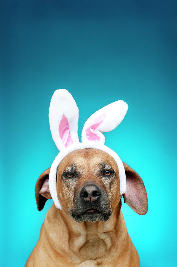 Vertical Photograph - Dog Portrait Wearing Easter Bunny Ears by Jade Brookbank