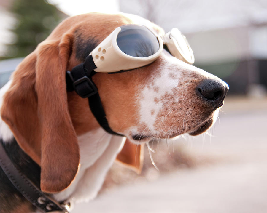 Horizontal Photograph - Dog Wearing Goggles by Darren Boucher