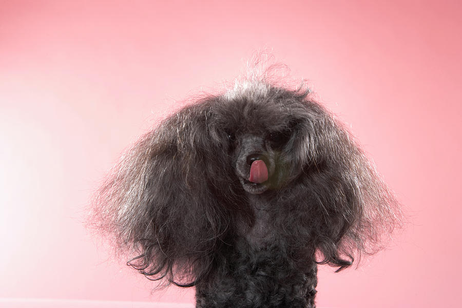 Dog With Hair In Front Of Face And Tongue Out Photograph By Chris Amaral