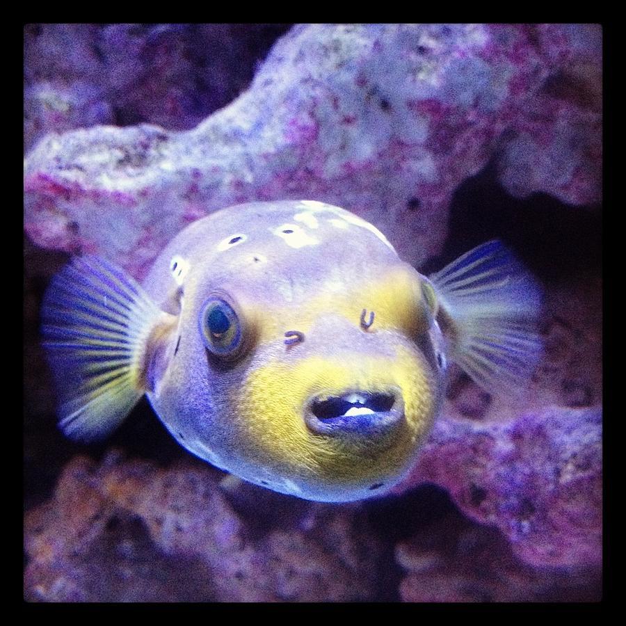 dog face puffer fish