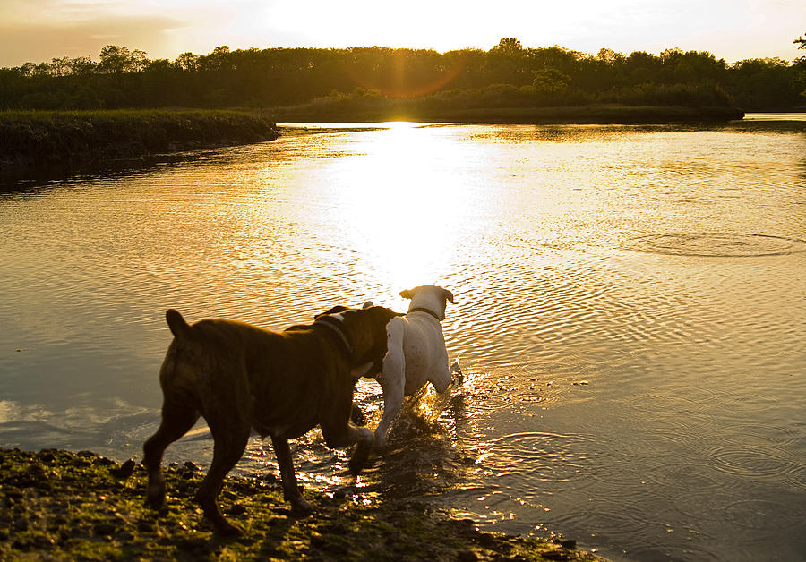 Boxer Photograph - Dogs At Sunset by Stephanie McDowell
