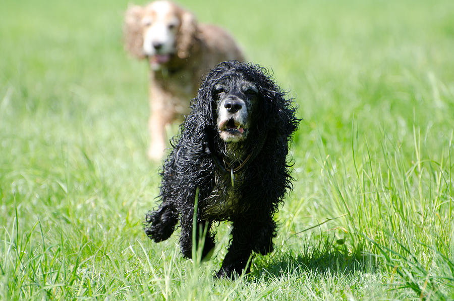Dog Photograph - Dogs Running On The Green Field by Mats Silvan