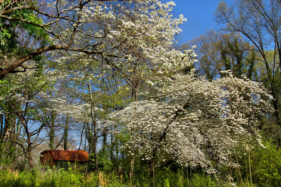 Barn Photograph - Dogwood Grove by Debra and Dave Vanderlaan