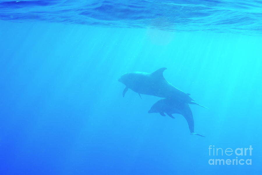 On The Move Photograph - Dolphin Mother And Calf by Sami Sarkis