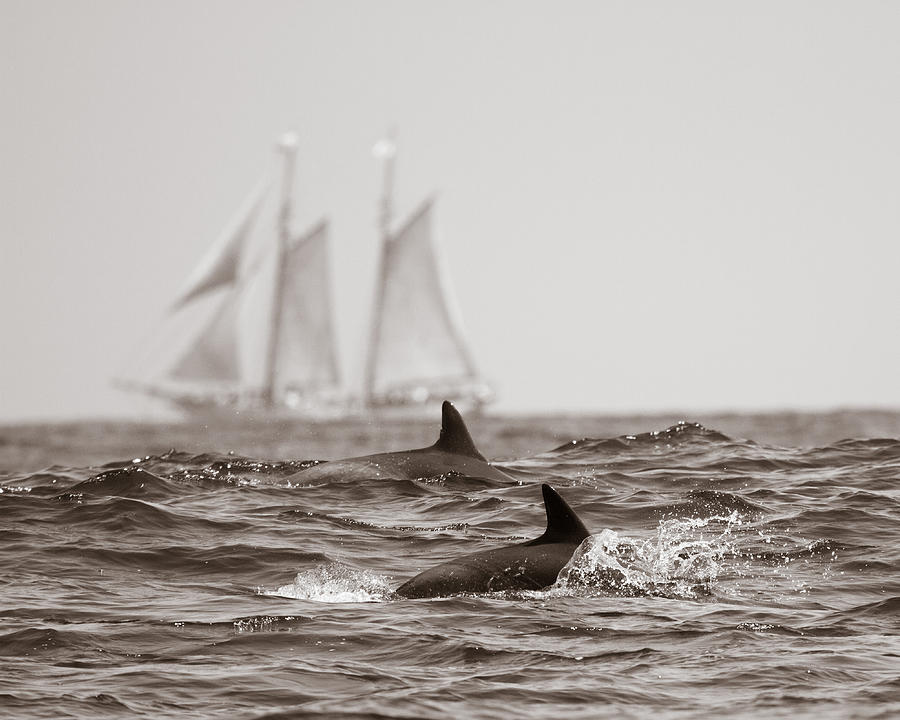 Dolphins Pyrography - Dolphins With Ship by Will Edwards