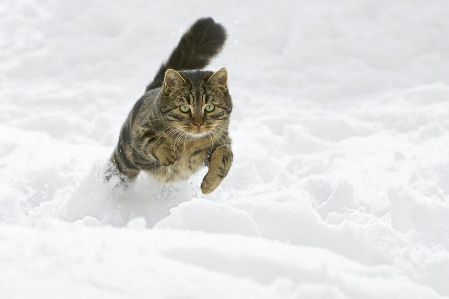 Domestic Cat Felis Catus Male Running Photograph by Konrad Wothe