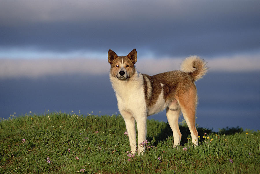 Mp Photograph - Domestic Dog Canis Familiaris, Taymyr by Konrad Wothe