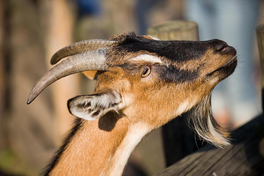 Agriculture Photograph - Domestic Goat by Artur Bogacki