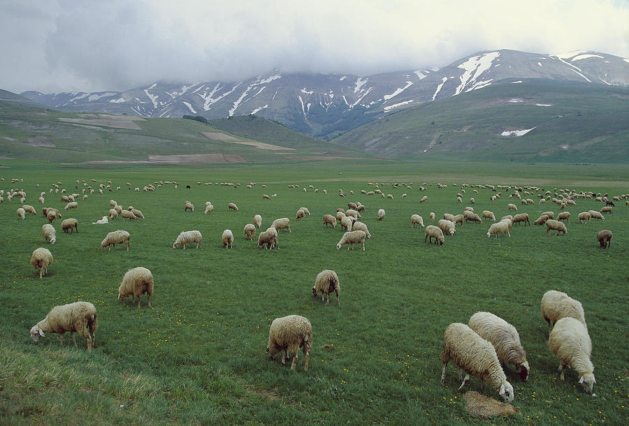 Domestic Sheep Ovis Aries Flock Grazing Photograph by Konrad Wothe