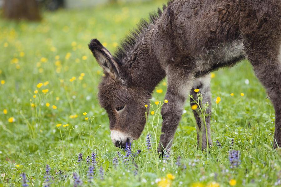 Mp Photograph - Donkey Equus Asinus Foal Grazing by Konrad Wothe