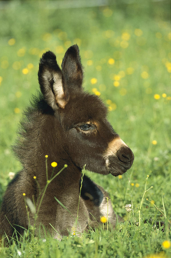 Mp Photograph - Donkey Equus Asinus Foal Resting by Konrad Wothe