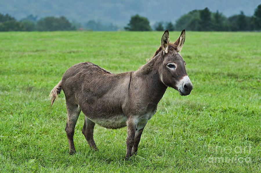 Burro Photograph - Donkey by John Greim