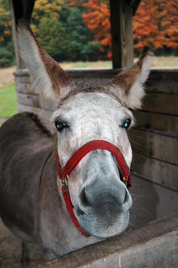 Usa Photograph - Donkey Looks by LeeAnn McLaneGoetz McLaneGoetzStudioLLCcom