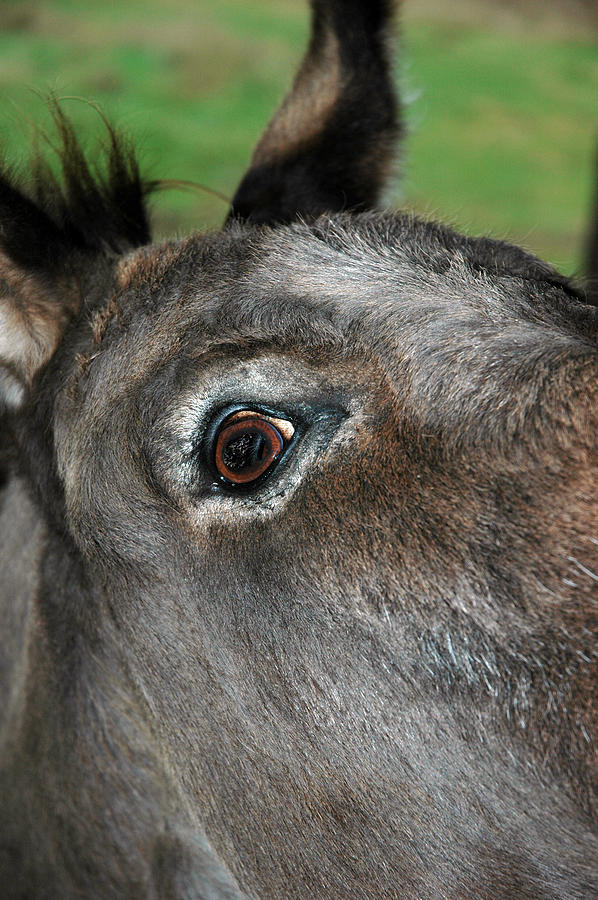 Usa Photograph - Donkey Stink Eye by LeeAnn McLaneGoetz McLaneGoetzStudioLLCcom