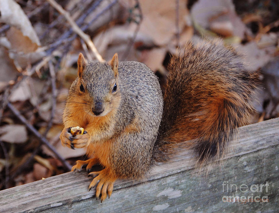 Squirrel Photograph - Dont Even Think About It by DiDi Higginbotham