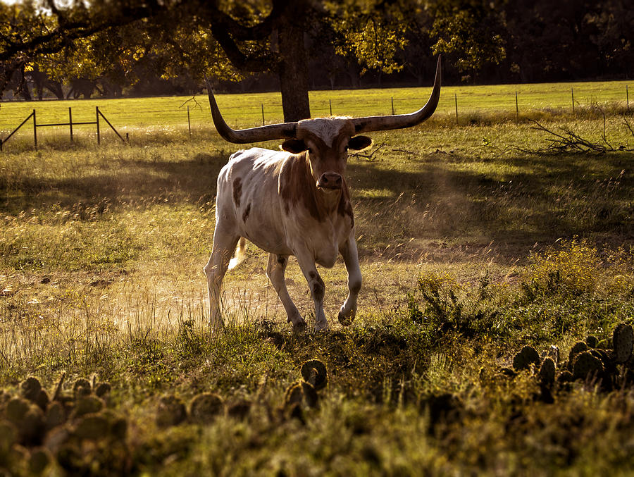 Agriculture Photograph - Dont Mess With Texas ..... Long Horns That Is  by Kelly Rader