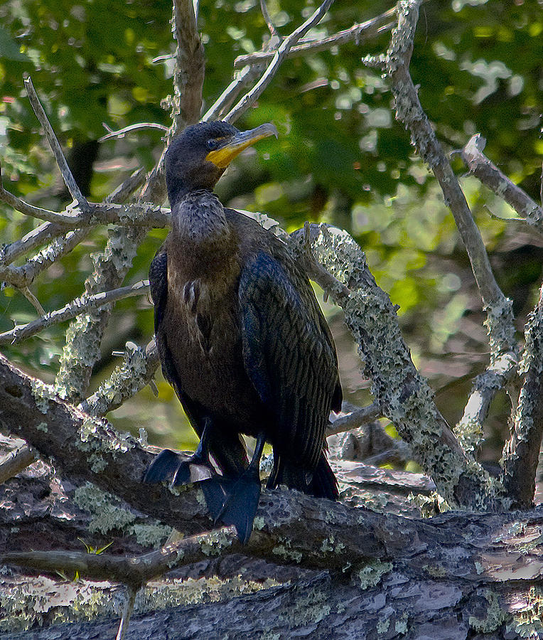 Nature Photograph - Double-crested Cormorant by Michael Friedman