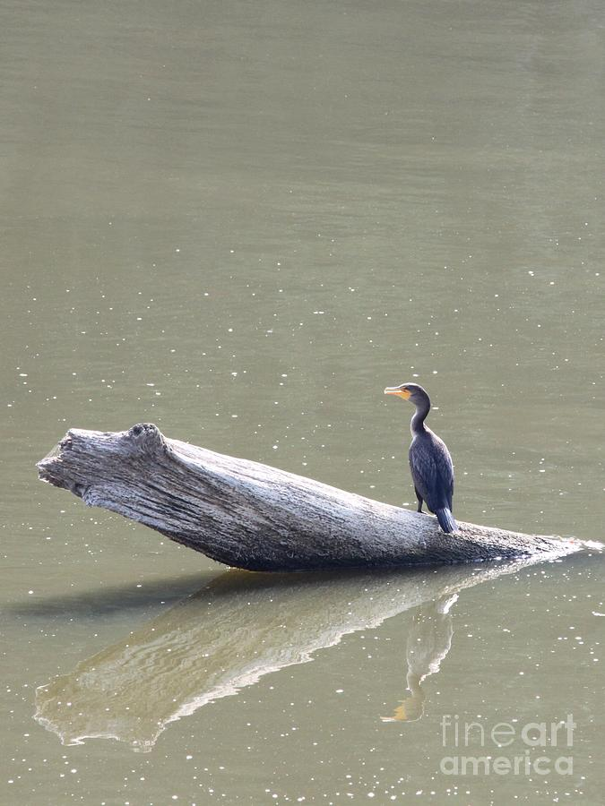 Nature Photograph - Double-crester Cormorant by Jack R Brock