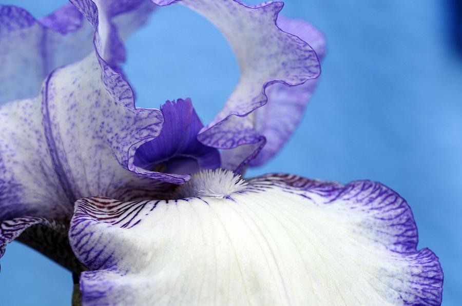 Iris Photograph - Double Delight by Wanda Brandon