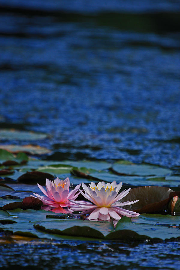 Lilies Photograph - Double Lily by Karol Livote