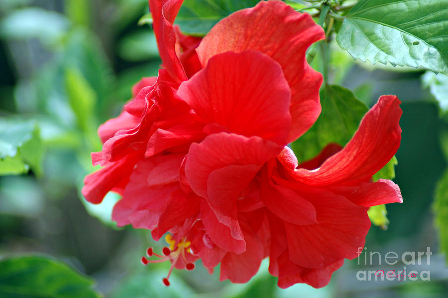 Double Red Hibiscus Photograph By Donna Bentley