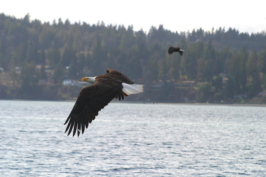 Bald Eagles Photograph - Double Trouble Eagles by Kym Backland