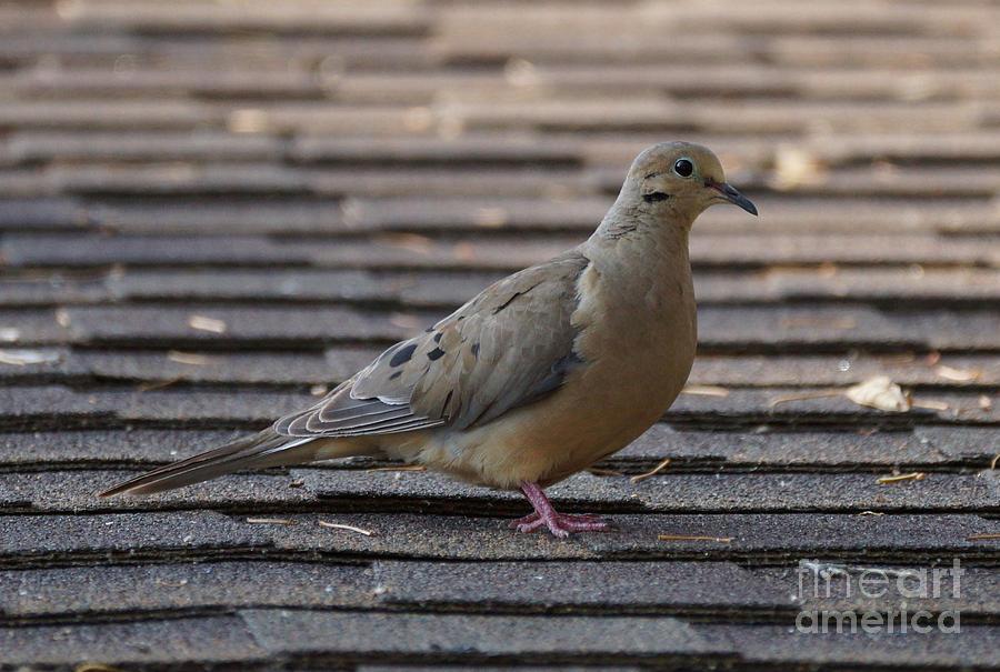 Birds Photograph - Doves by Lori Tordsen