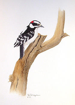 Downy Painting - Downy Woodpecker by Bill Gehring