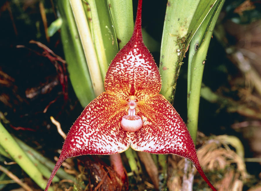 dracula orchid photograph by dr morley read