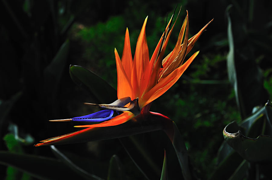 Flower Photograph - Dragon Flower by Richard Leon