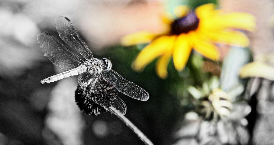 Black And White Photographs Photograph - Dragon Fly And Yellow Black Eyed Susan by Tam Graff