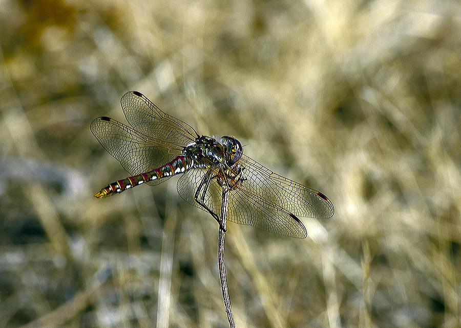 Dragon Fly Photograph - Dragon Fly  by Dorothy Hilde