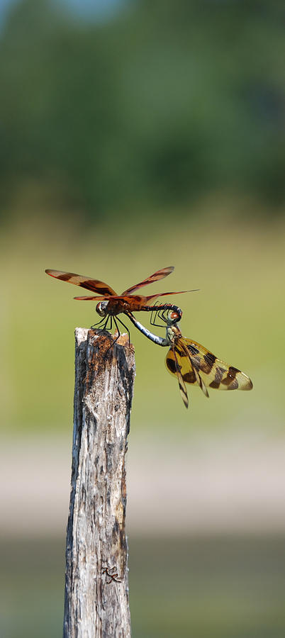 Dragon Fly Photograph - Dragon Fly Love by Kelly Rader