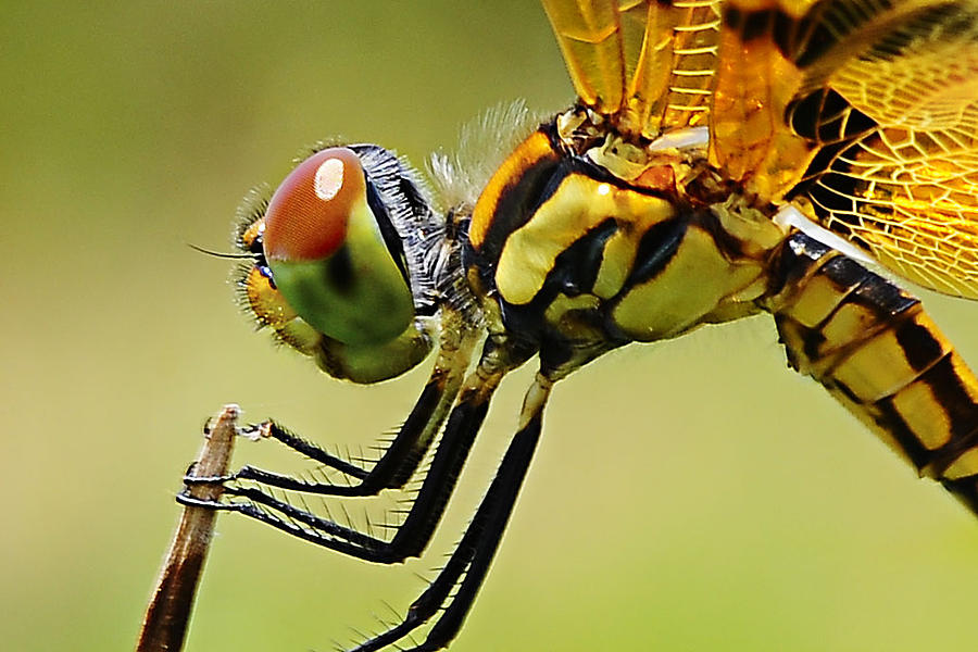 Dragon Fly Photograph - Dragon Fly by Michelle Armstrong
