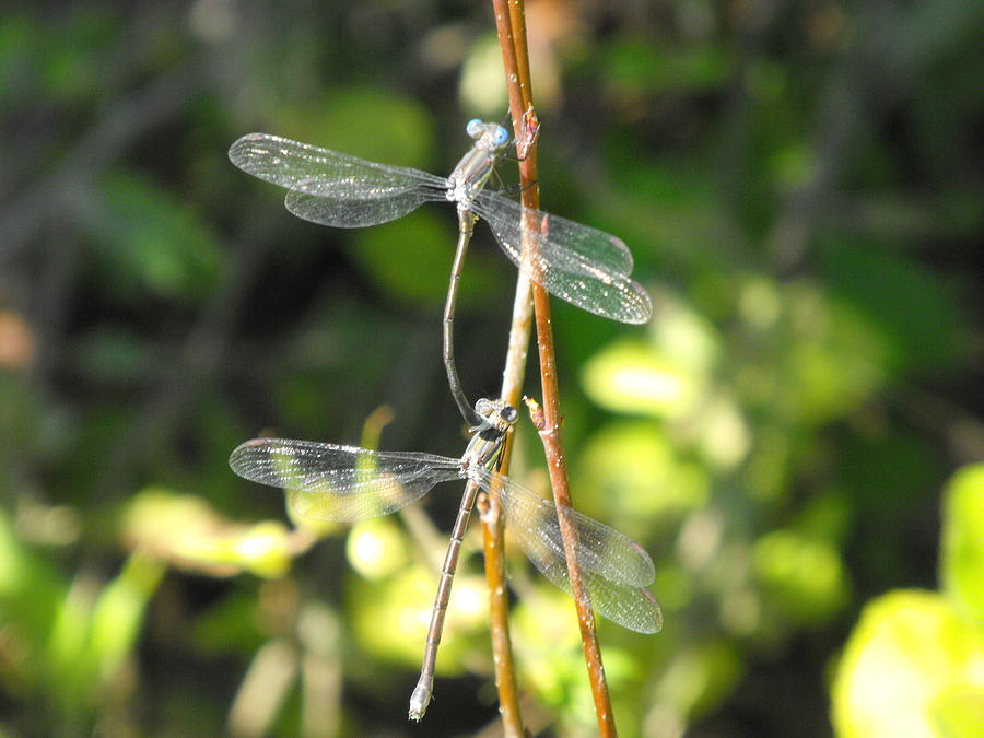 Dragonflies Photograph - Dragonflies by Paulina Roybal