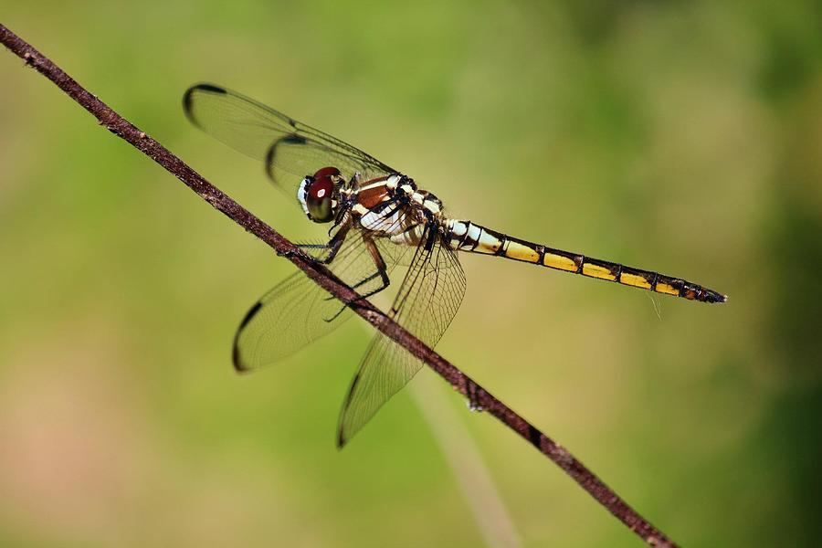 Dragonfly Photograph - Dragonfly  by Alexander Spahn