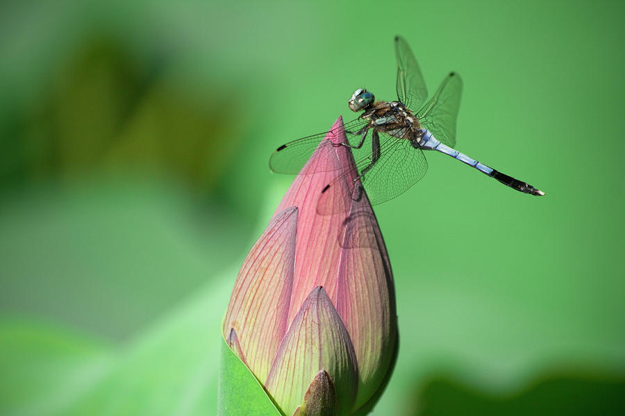 Horizontal Photograph - Dragonfly And Lotus Bud by masahiro Makino