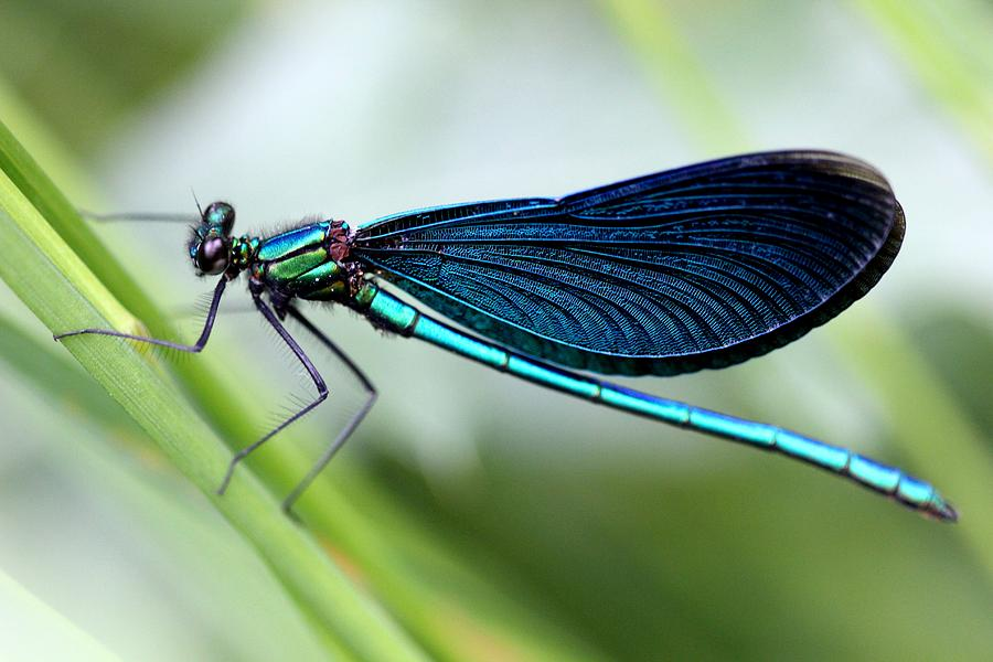 Dragonfly Photograph - Dragonfly by Charlotte Therese Bjornstrom