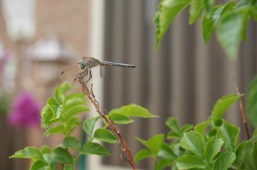 Dragonfly Photograph - Dragonfly In Nature by Megan Cohen