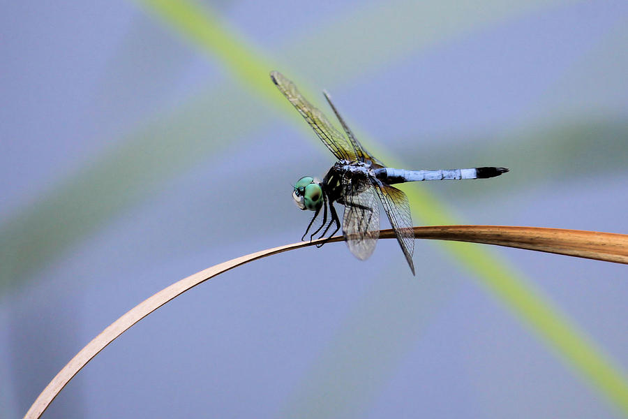 Dragonfly Photograph - Dragonfly by Laura Oakman