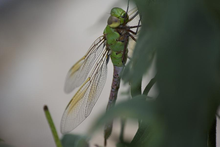 Dragonfly Photograph - Dragonfly by Michel DesRoches