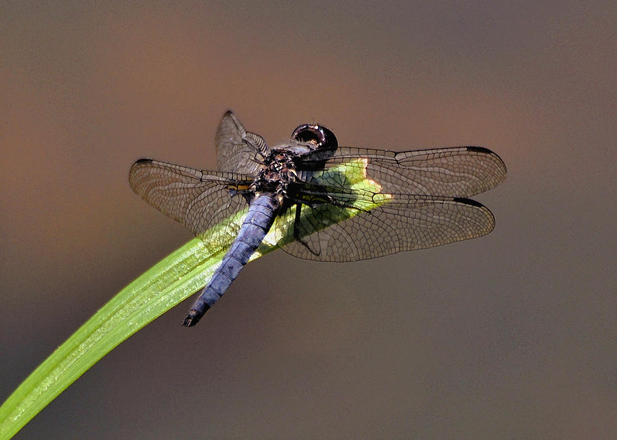 Dragonfly Photograph - Dragonfly On Goose Feather Pond  - C2121b by Paul Lyndon Phillips