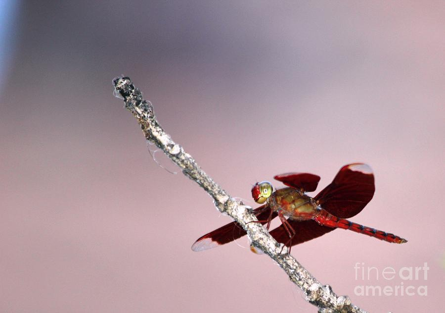 Dragonfly Photograph - Dragonfly On A Pastel Sky by Nola Lee Kelsey
