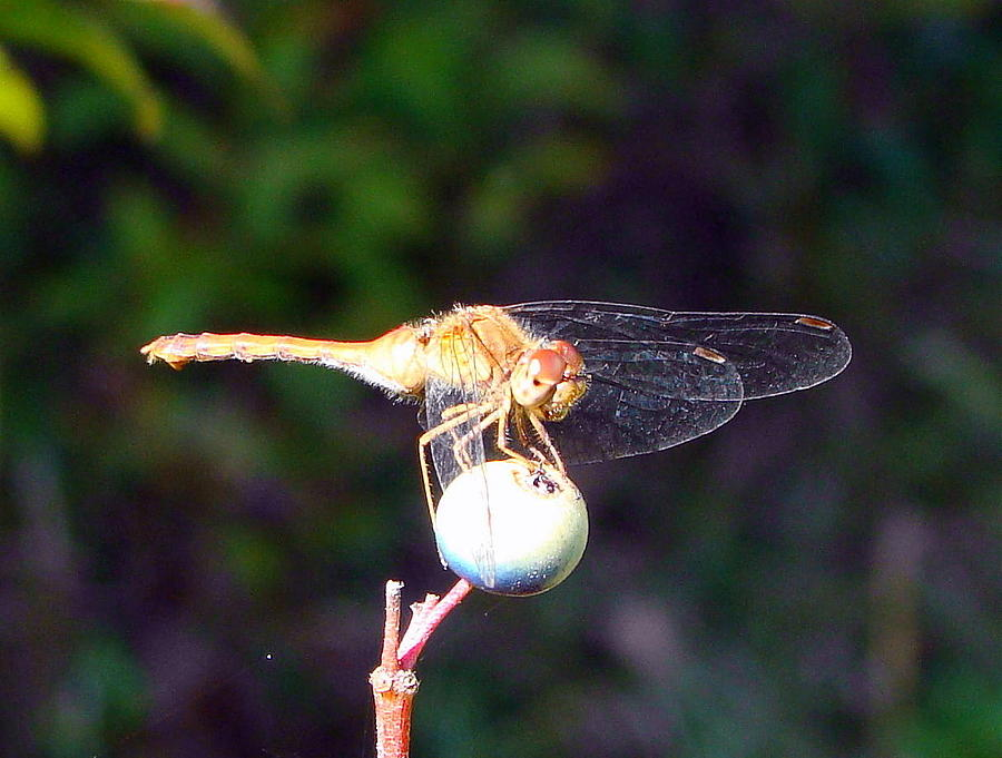Bug Painting - Dragonfly On Sphere by Mark Haley
