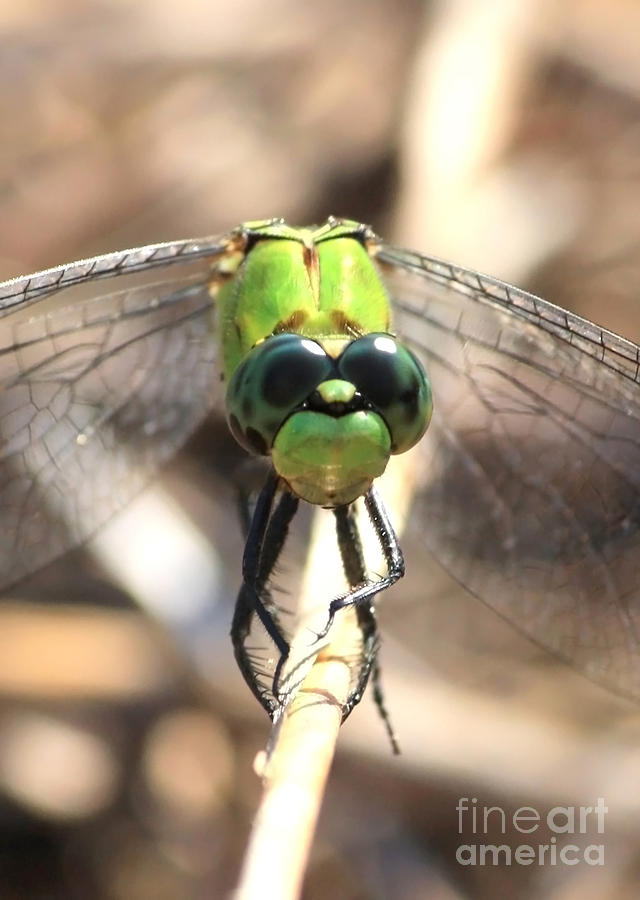 Dragonfly Photograph - Dragonfly Perspective by Carol Groenen