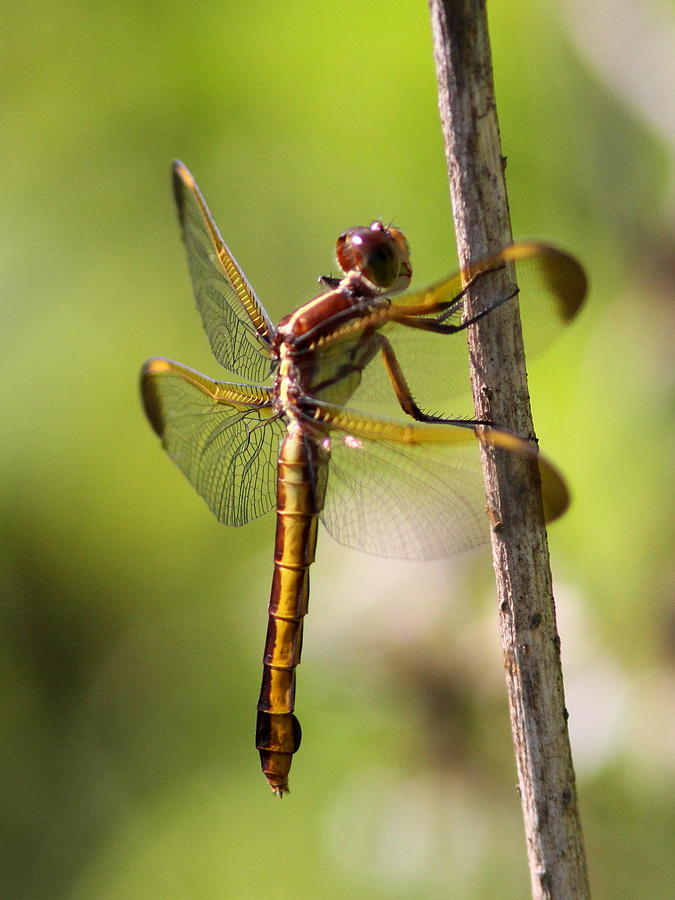 Dragonfly Photograph - Dragonfly Photo - Yellow Dragon by Travis Truelove