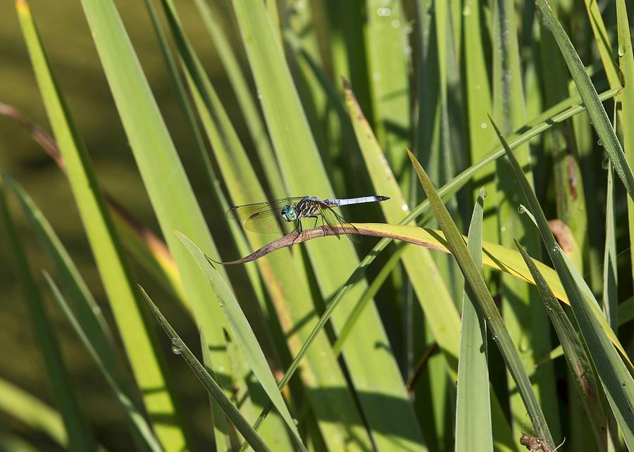 Dragonfly Photograph - Dragonfly by Ron Sgrignuoli